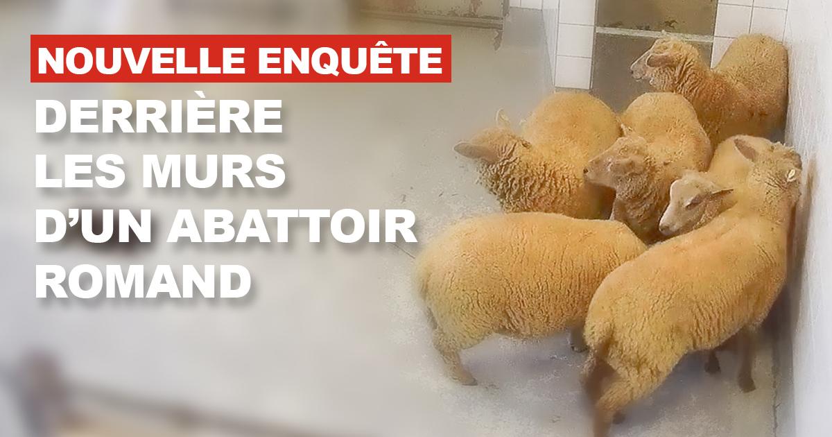 Nouvelle enquête en abattoir suisse