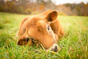 vache.jpg