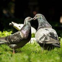 pigeons_birds-932443_1920.jpg