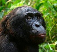 Male_Bonobo_Lola_ya_Bonobo_2008.jpg