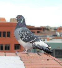 pigeon-302720_1920.jpg
