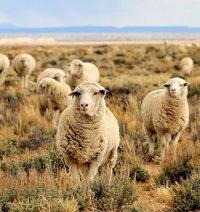 sheep-931136_1280.jpg