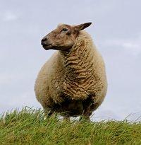 sheep-784562_1920.jpg