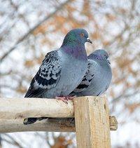 pigeon_cappodocia-722611_1920.jpg