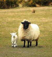 sheep-751481_1280.jpg