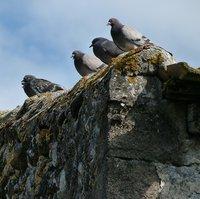 pigeons-263306_1920.jpg